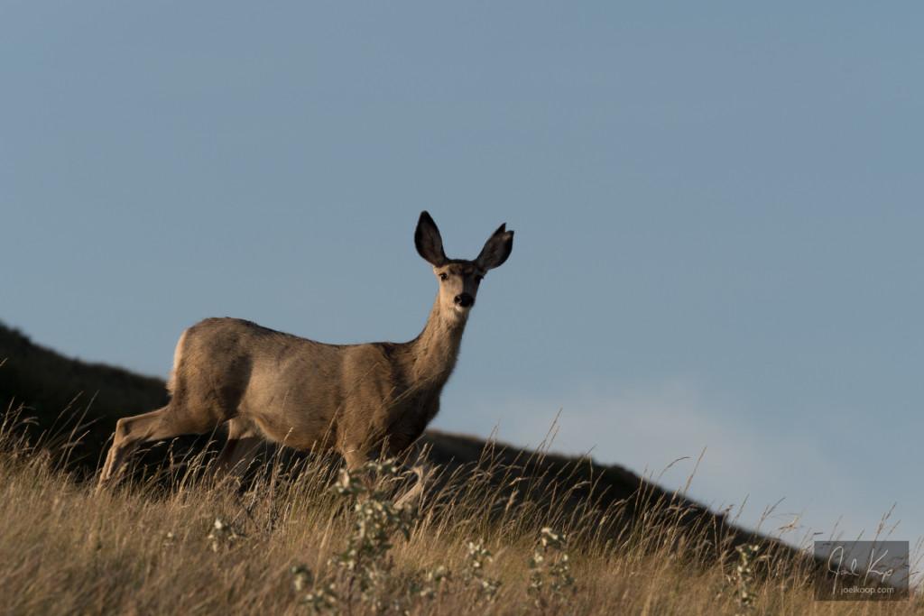 Curious Mule Deer