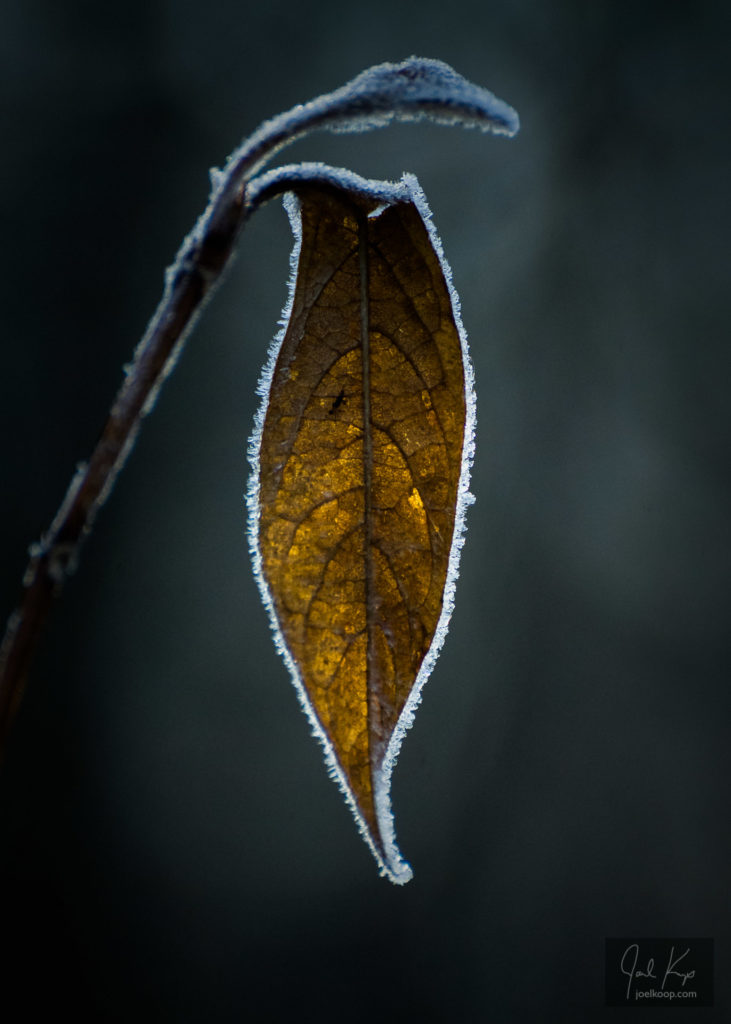 Frost-Edged Leaf