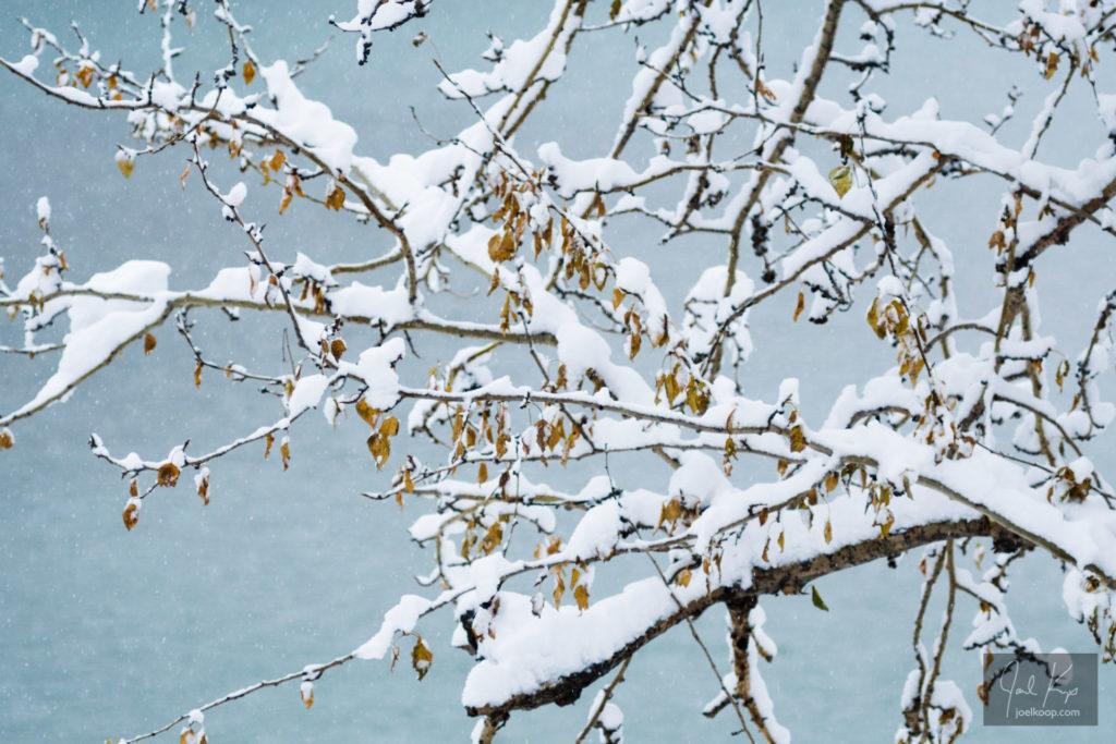 Snow Laden Branch