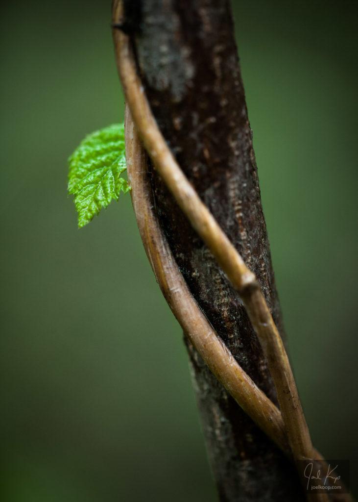 Peeking Leaf