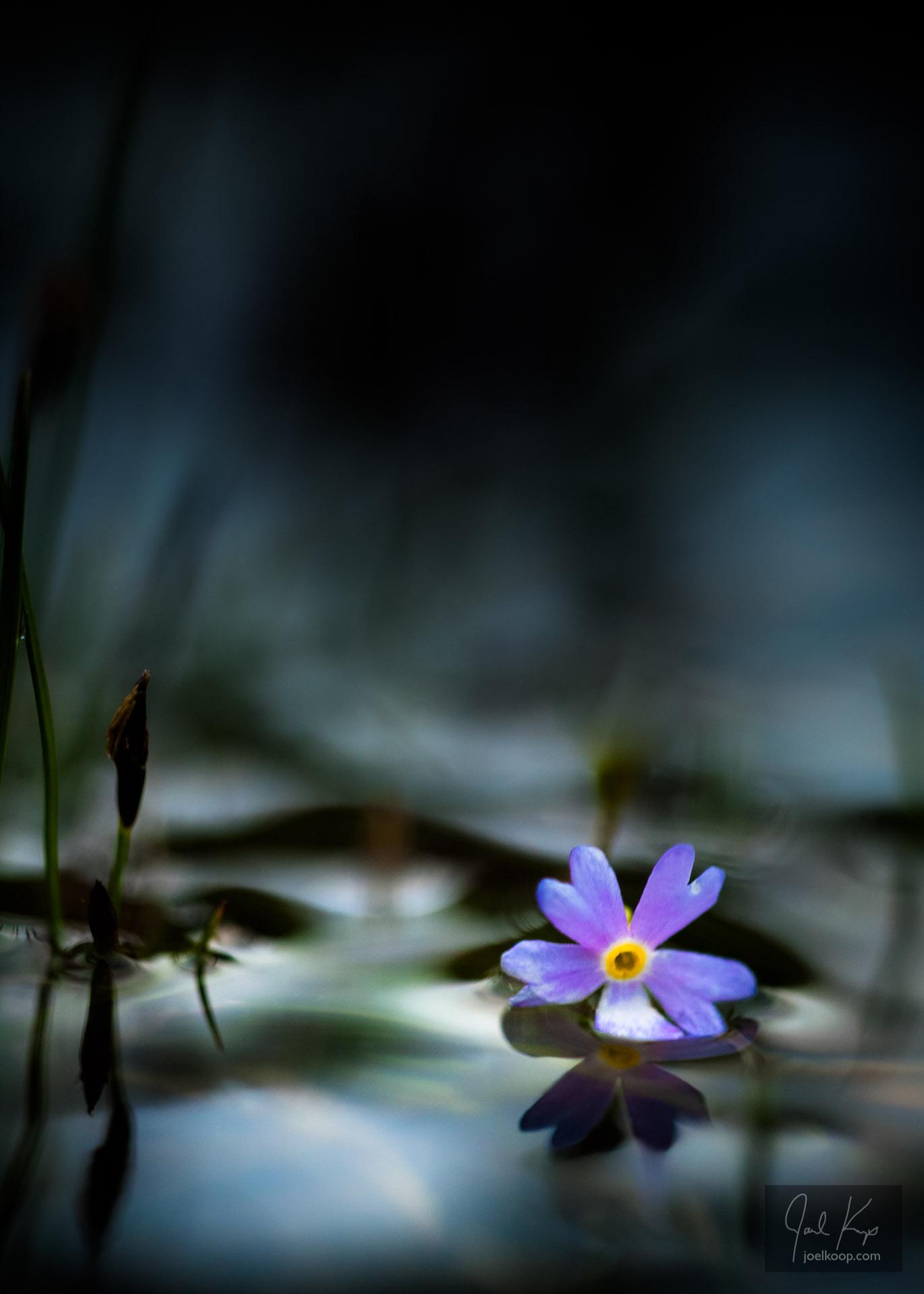 Floating Verbena