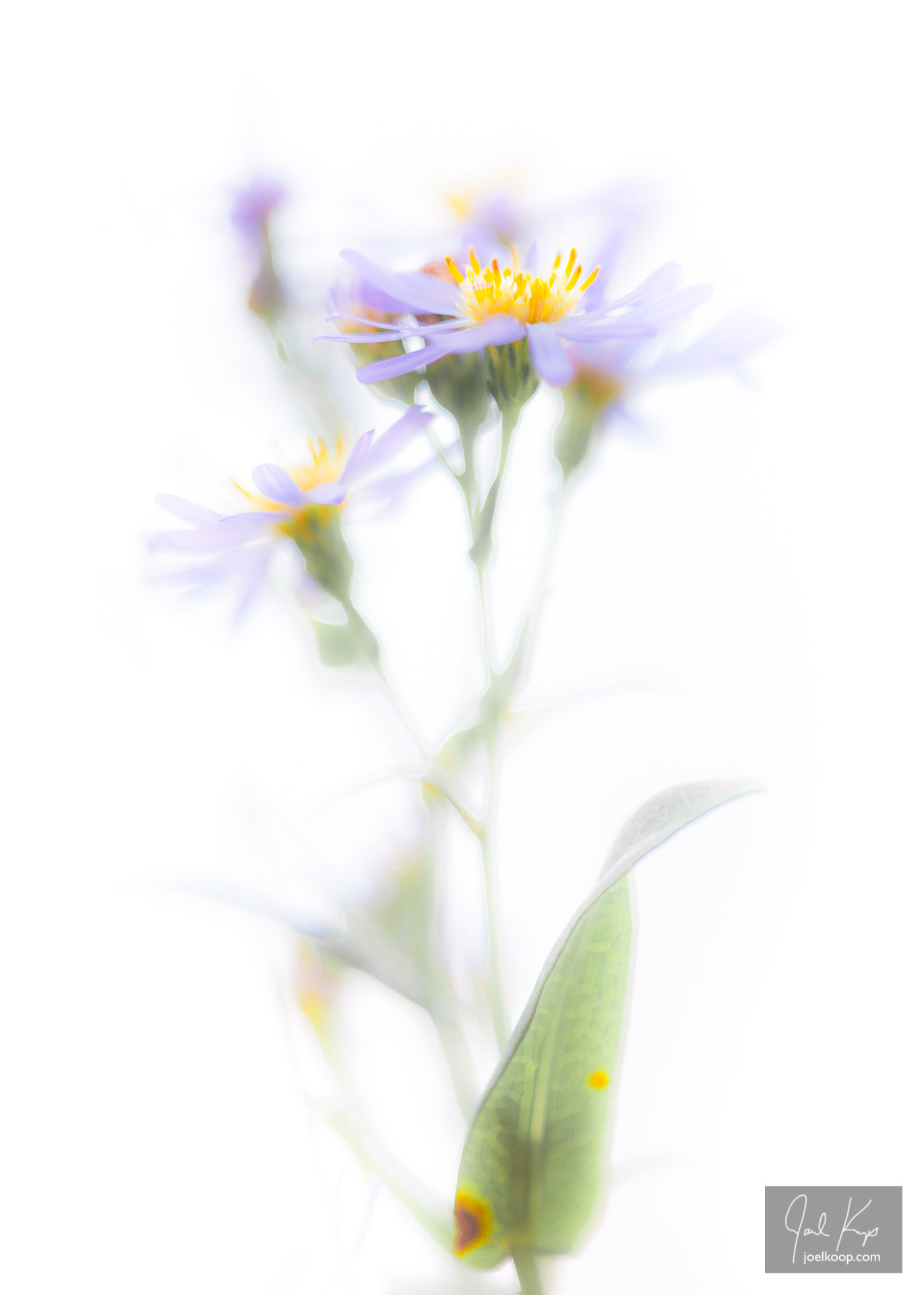 Asters in the Sun
