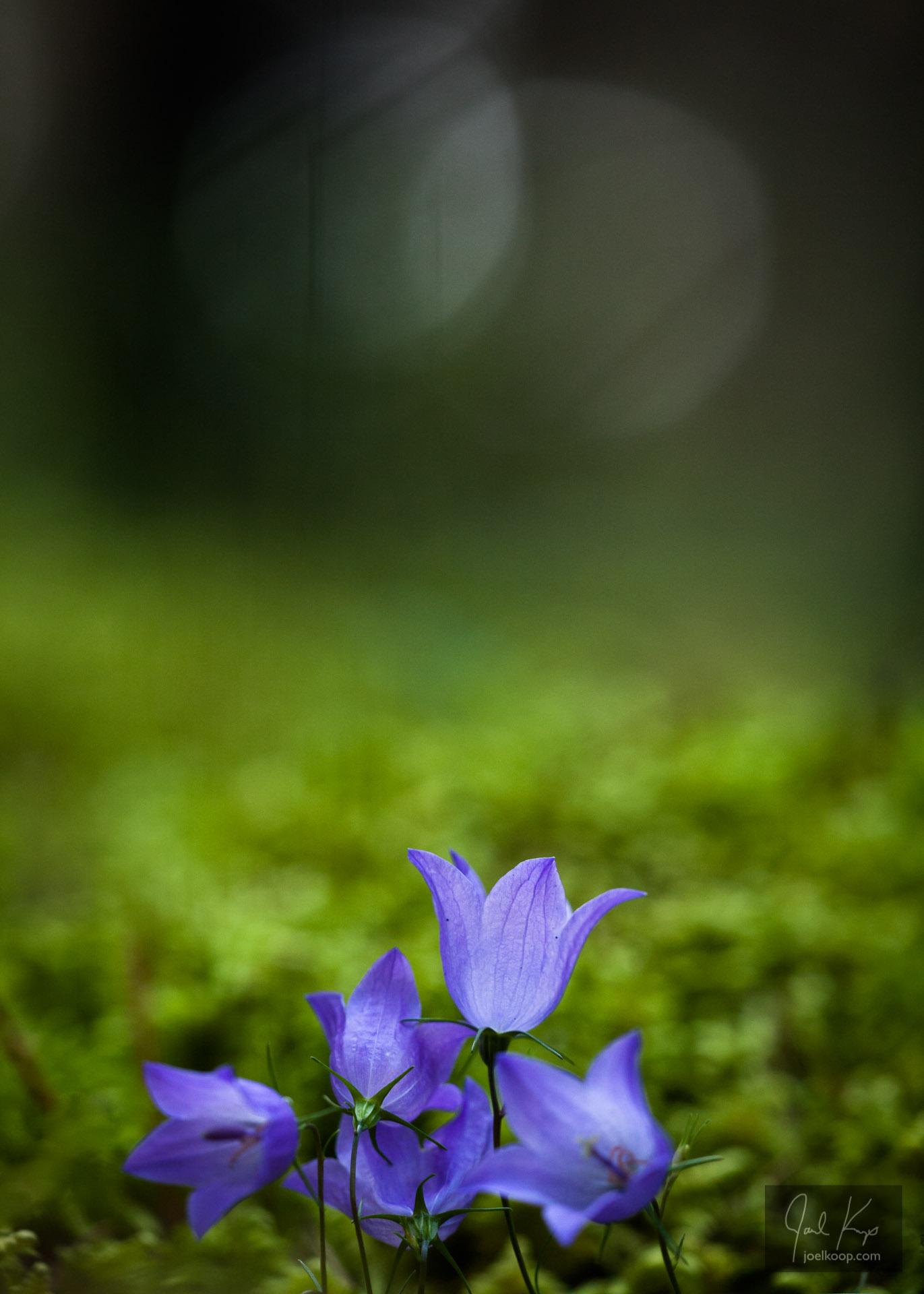 Harebells in Moss