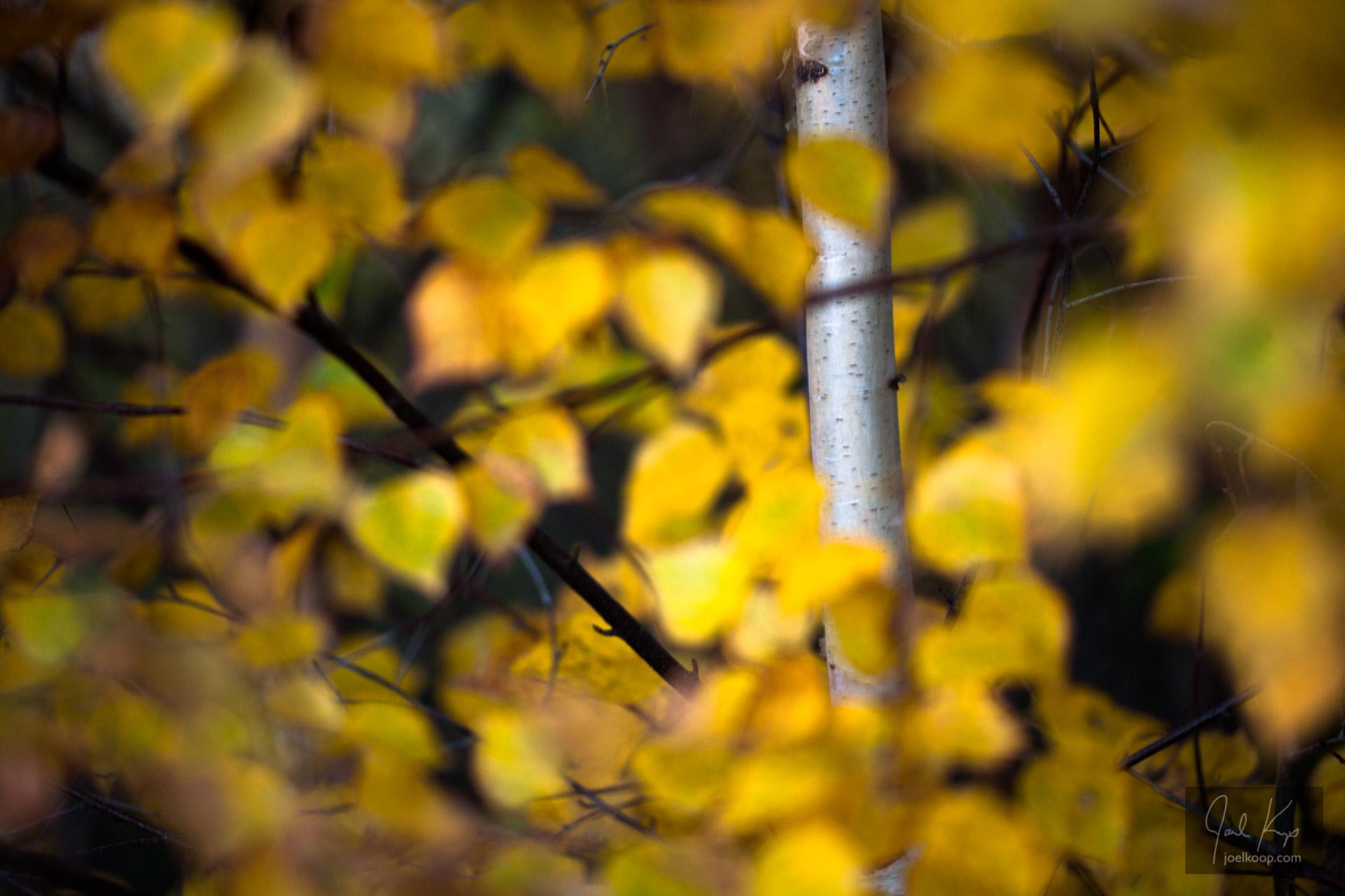 Birch Impressions