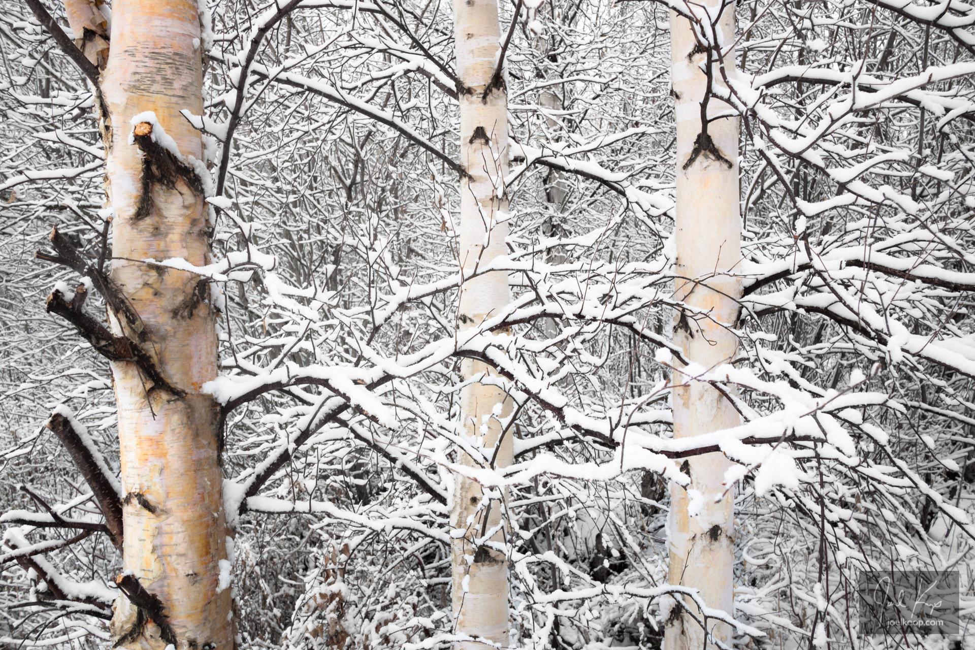 Snow-clad Birch