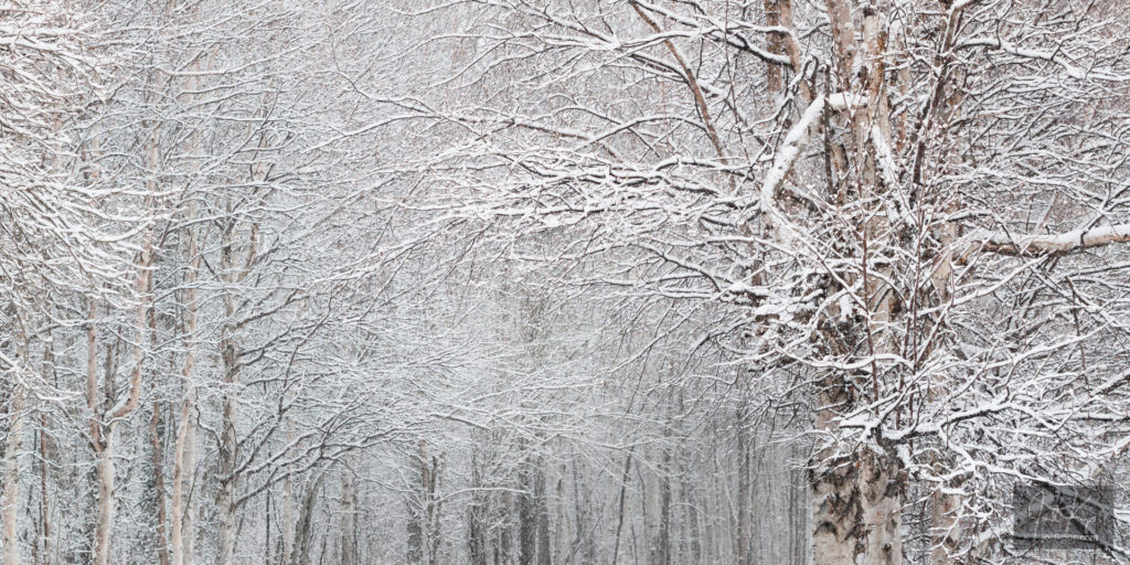Fine Birch Branches